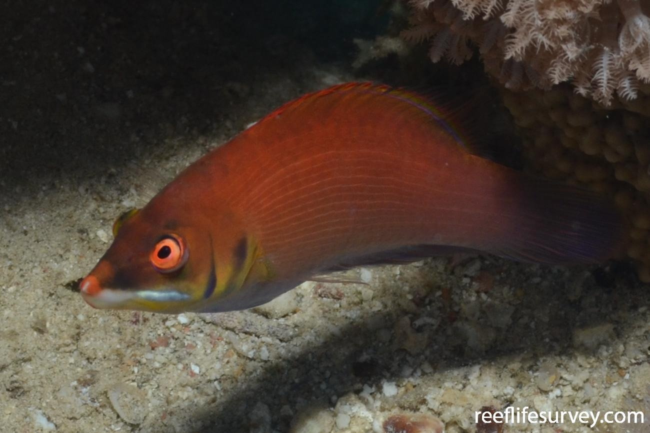 Pseudocheilinus evanidus, Red Sea,  Photo: Graham Edgar