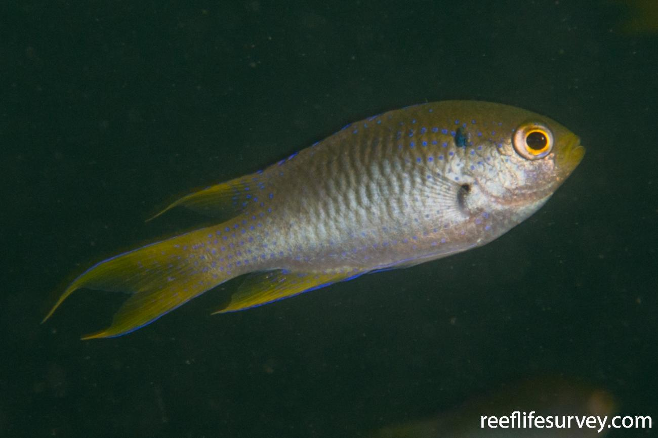 Neopomacentrus nemurus, Raja Ampat, Indonesia,  Photo: Rick Stuart-Smith