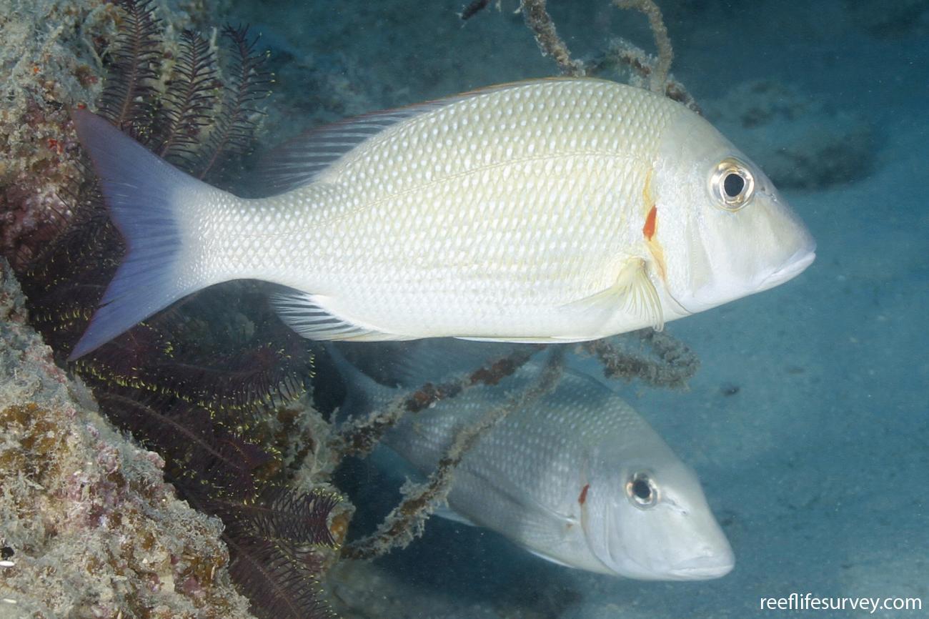 Lethrinus lentjan, Adult, Coral Sea, Australia,  Photo: Ian Shaw
