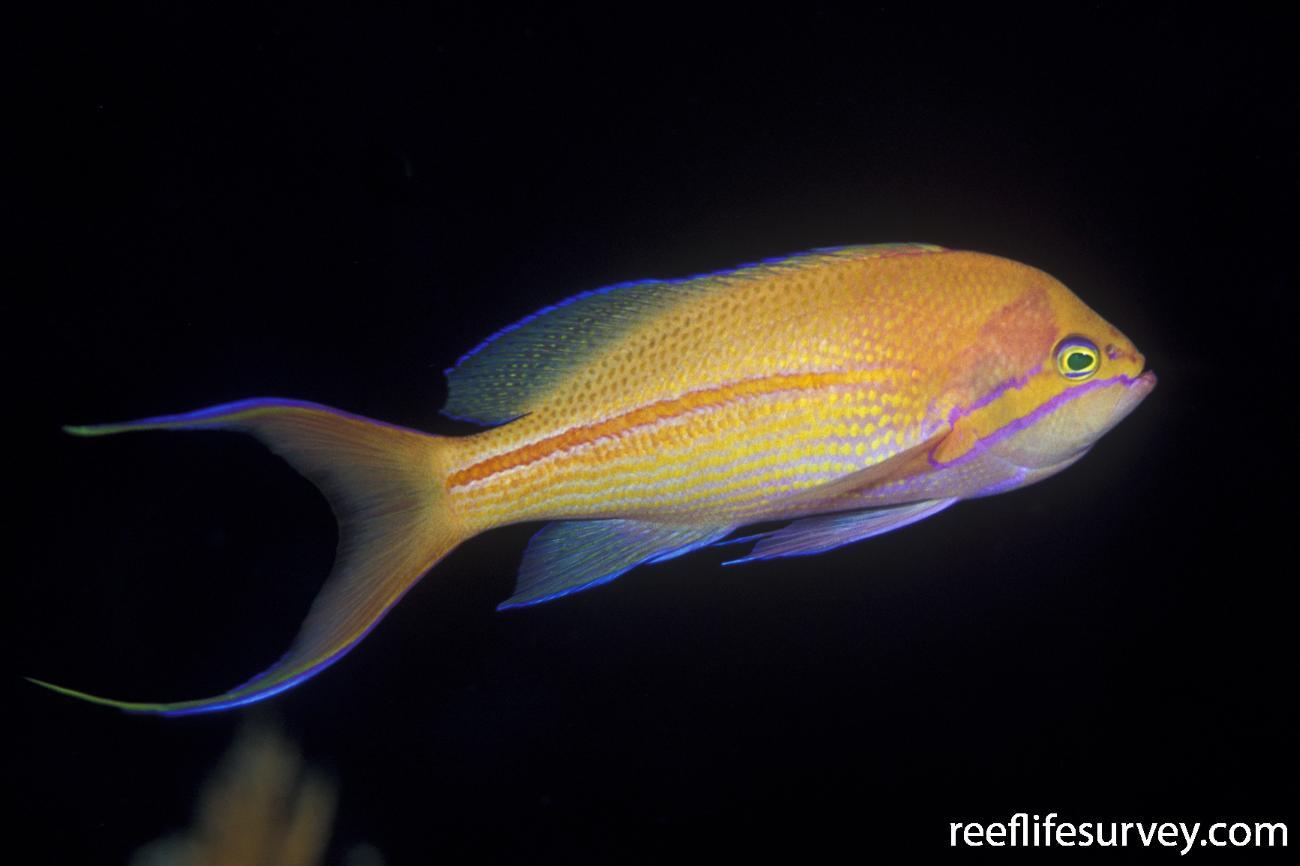Pseudanthias fasciatus, QLD, Australia,  Photo: Ian Shaw