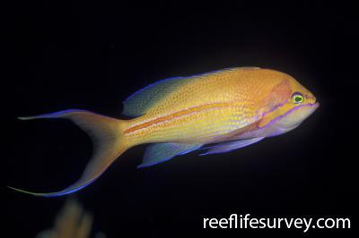 Pseudanthias fasciatus: QLD, Australia,  Photo: Ian Shaw