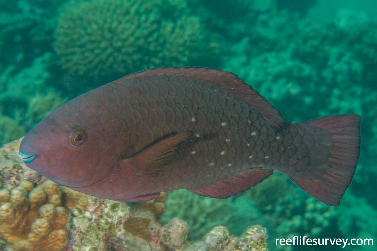 Scarus altipinnis, Female, NSW, Australia,  Photo: Rick Stuart-Smith