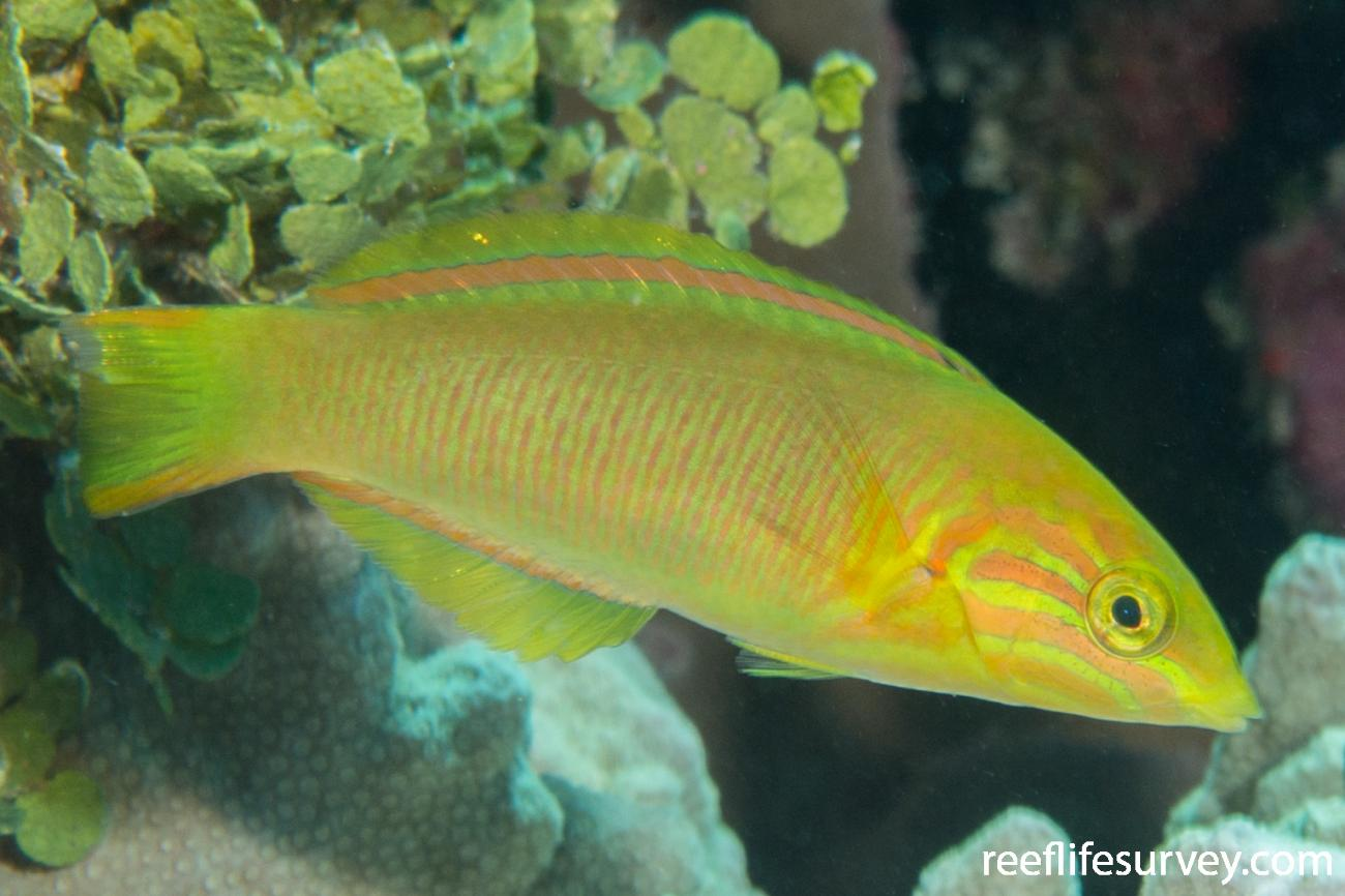 Thalassoma lutescens, Juvenile, QLD, Australia,  Photo: Rick Stuart-Smith