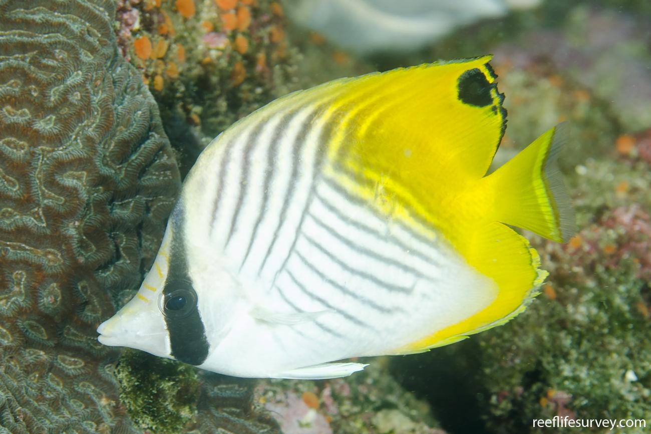 Chaetodon auriga, Adult, NSW, Australia,  Photo: Ian Shaw