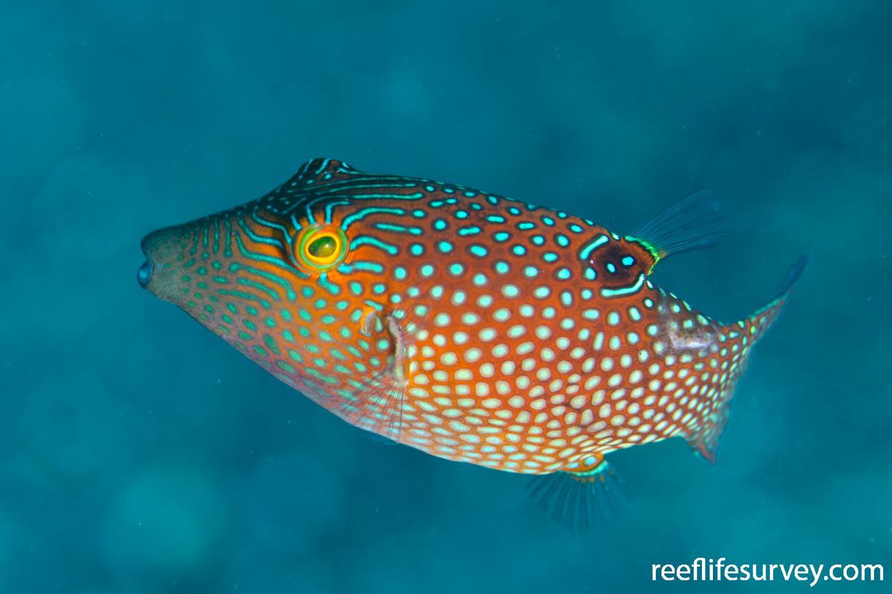 Canthigaster janthinoptera, Adult, Tulamben, Bali, Idonesia,  Photo: Ian Shaw