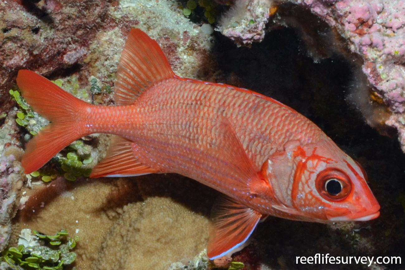 Sargocentron tiere, Iles Maria, Austral Islands, Pacific Ocean,  Photo: Graham Edgar
