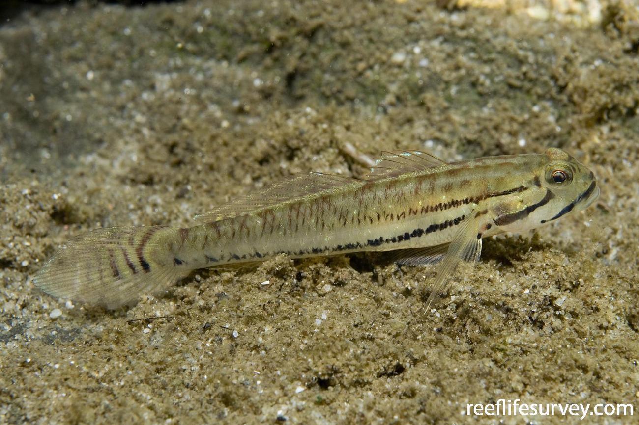 Arenigobius bifrenatus, Moruya, NSW,  Photo: Andrew Green
