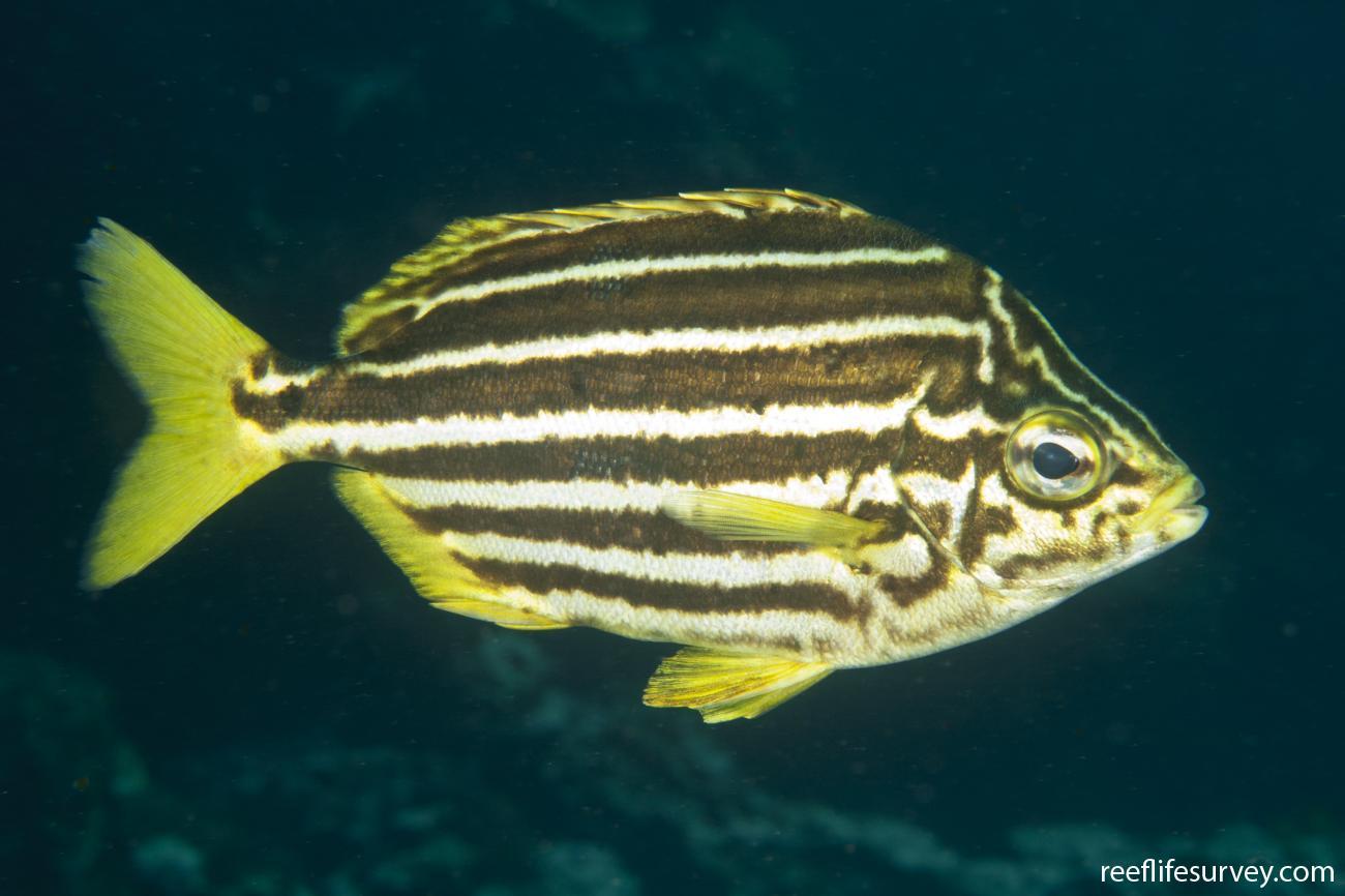 Atypichthys latus, Adult, Lord Howe Is, Australia,  Photo: Ian Shaw