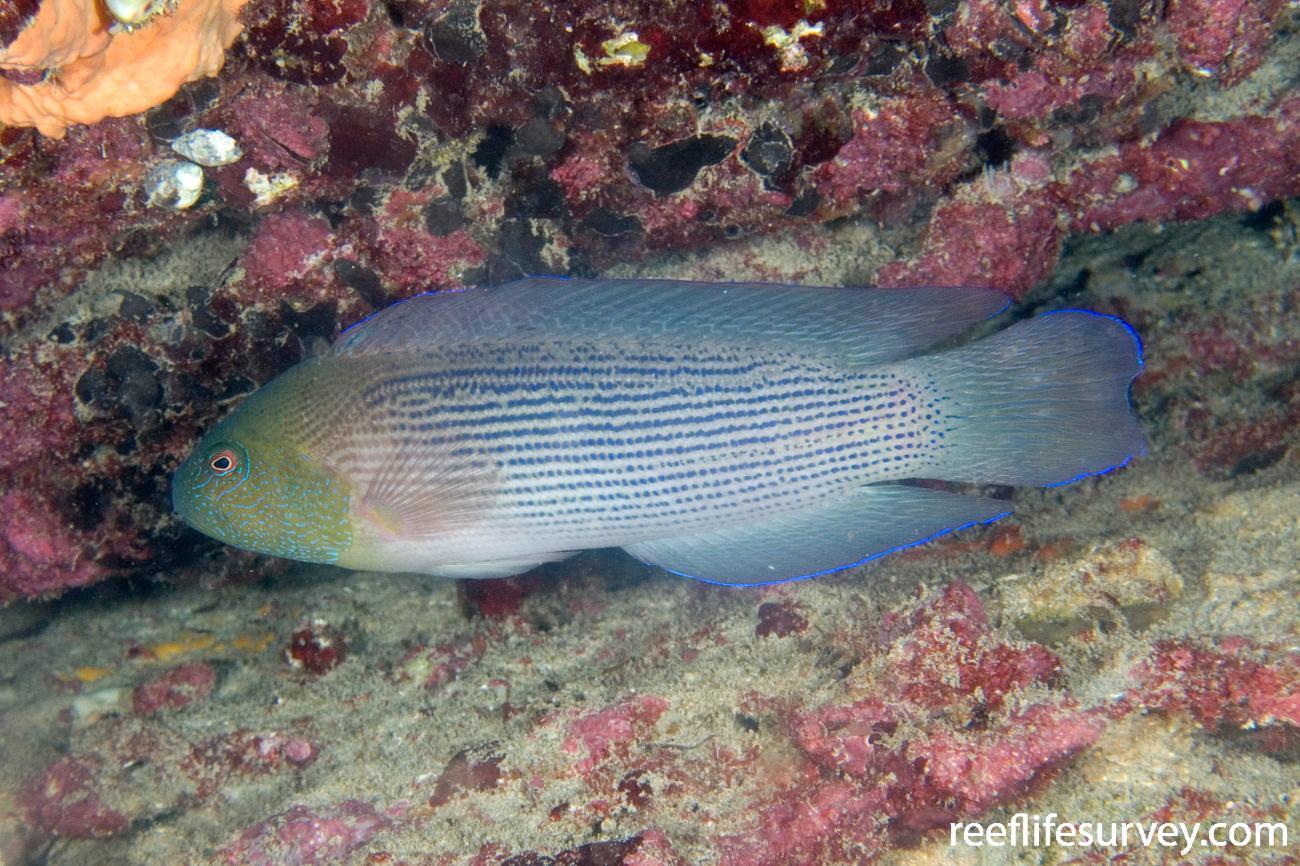 Labracinus lineatus, Port Gregory, WA,  Photo: Andrew Green