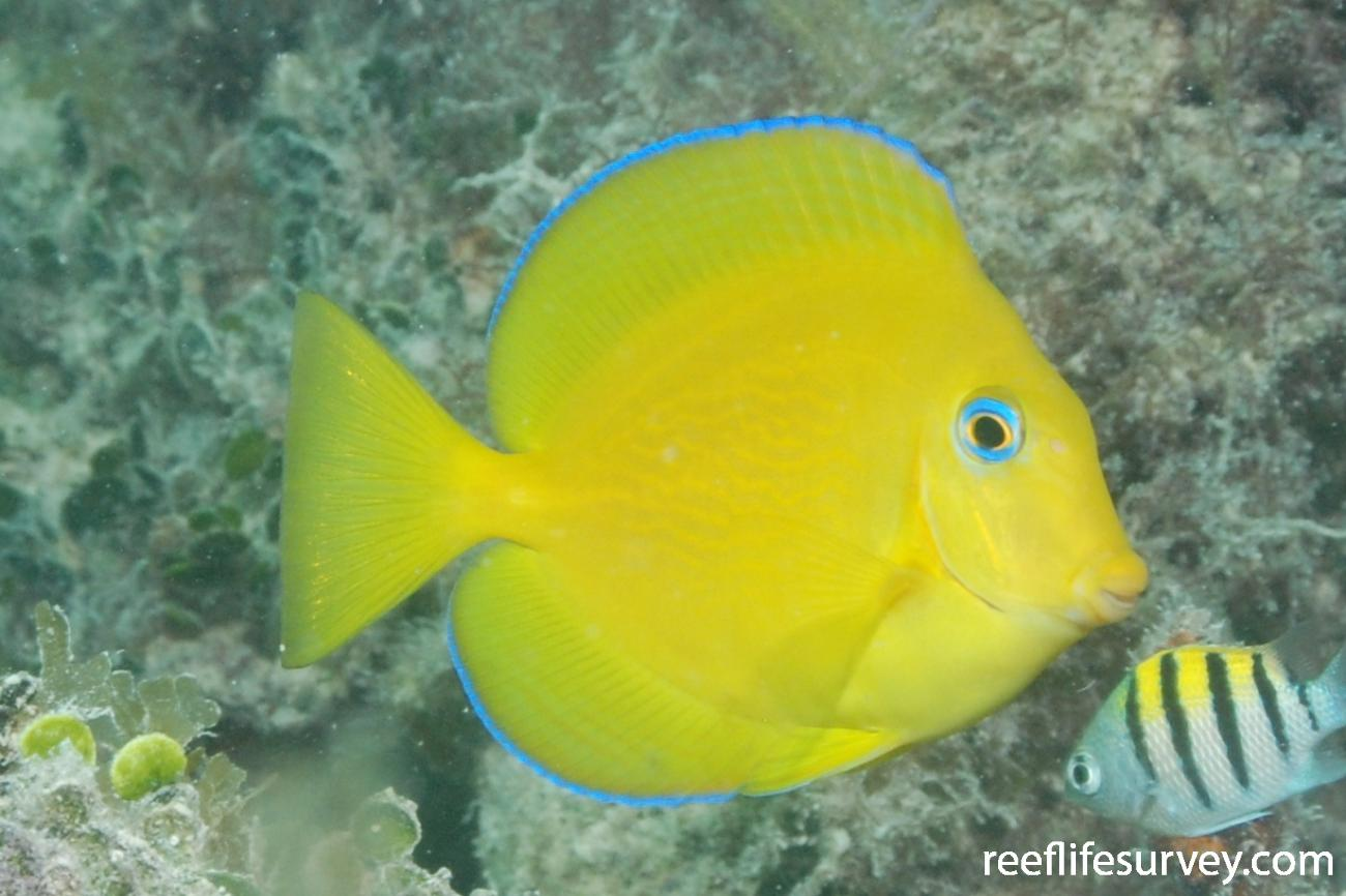 Acanthurus coeruleus, Juvenile, Florida Keys, USA,  Photo: Graham Edgar