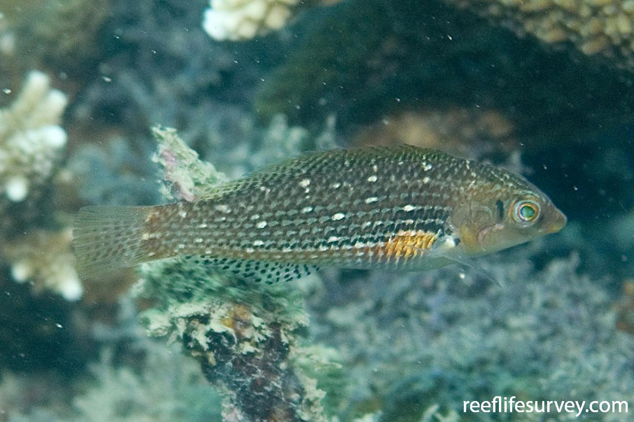Halichoeres miniatus, Female, Hudson Is, Great Barrier Reef, QLD,  Photo: Andrew Green