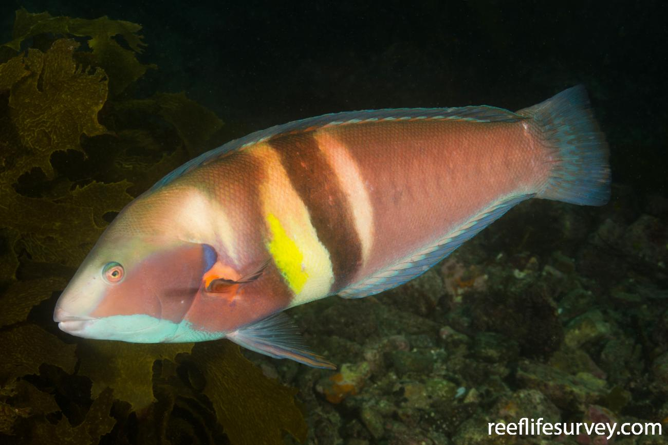 Coris sandeyeri, Male, Bay of Islands, New Zealand,  Photo: Ian Shaw