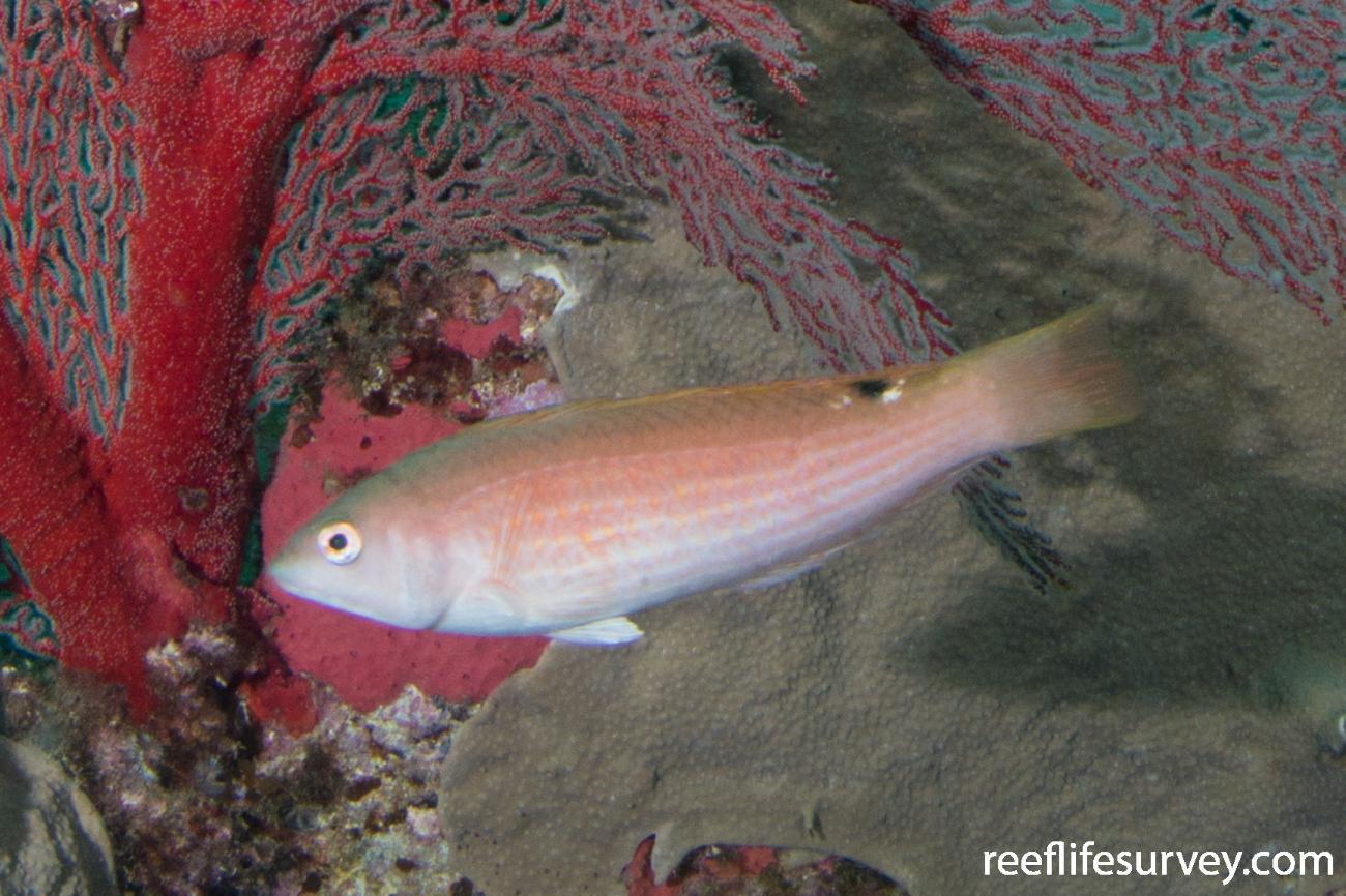 Pseudolabrus rubicundus, Sisters Beach, TAS,  Photo: Rick Stuart-Smith