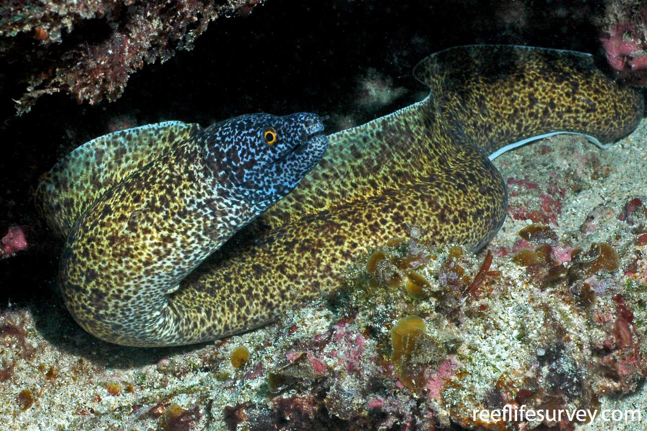 Gymnothorax annasona, Lord Howe Island, Australia,  Photo: Rick Stuart-Smith