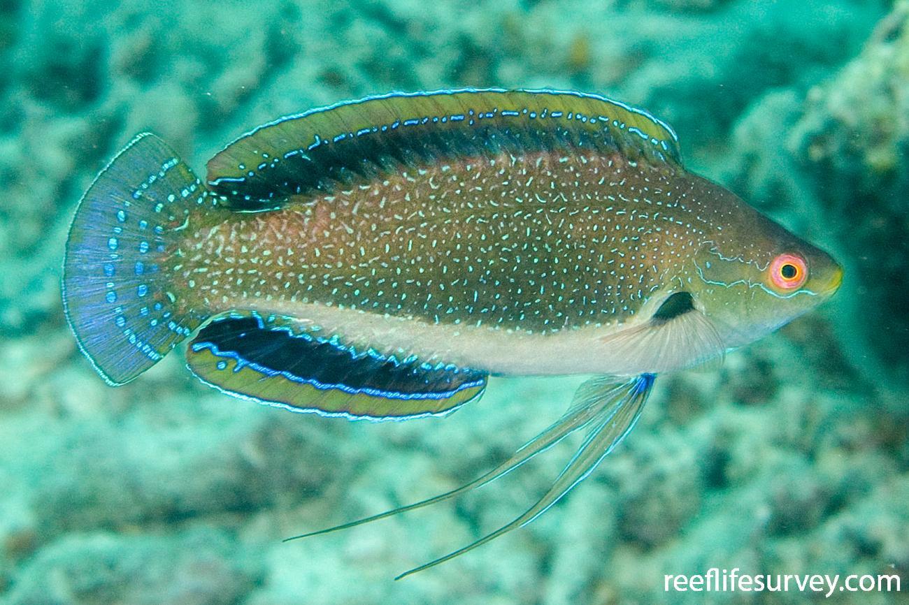 Cirrhilabrus punctatus, Male, Naigani Is, Fiji,  Photo: Andrew Green