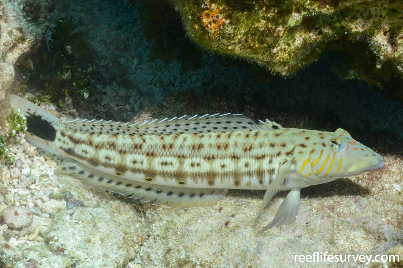Parapercis xanthogramma, Male, Tonga,  Photo: Graham Edgar