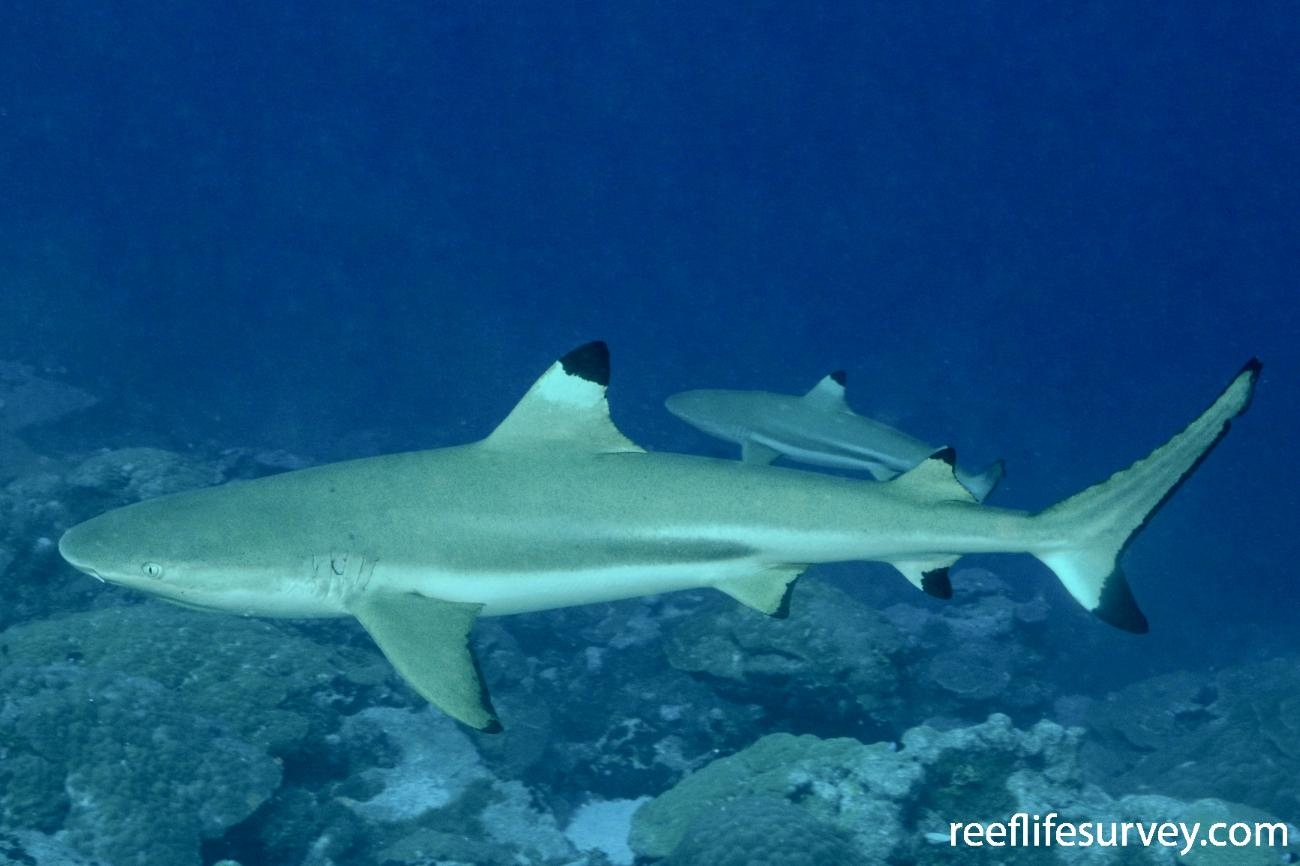 Carcharhinus melanopterus, Adult.  Photo: Graham Edgar