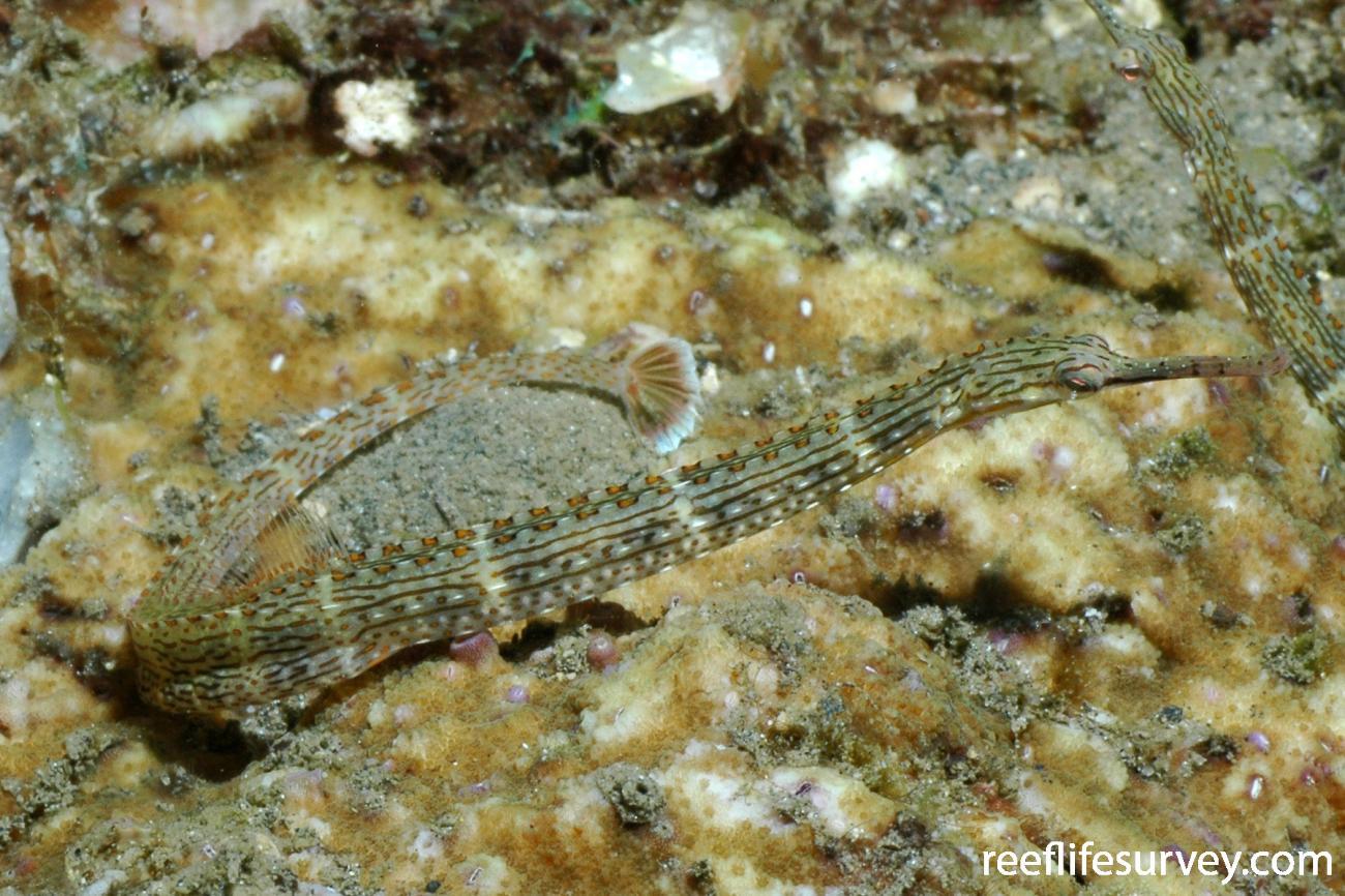 Corythoichthys schultzi, Sulawesi, Indonesia,  Photo: Ian Shaw
