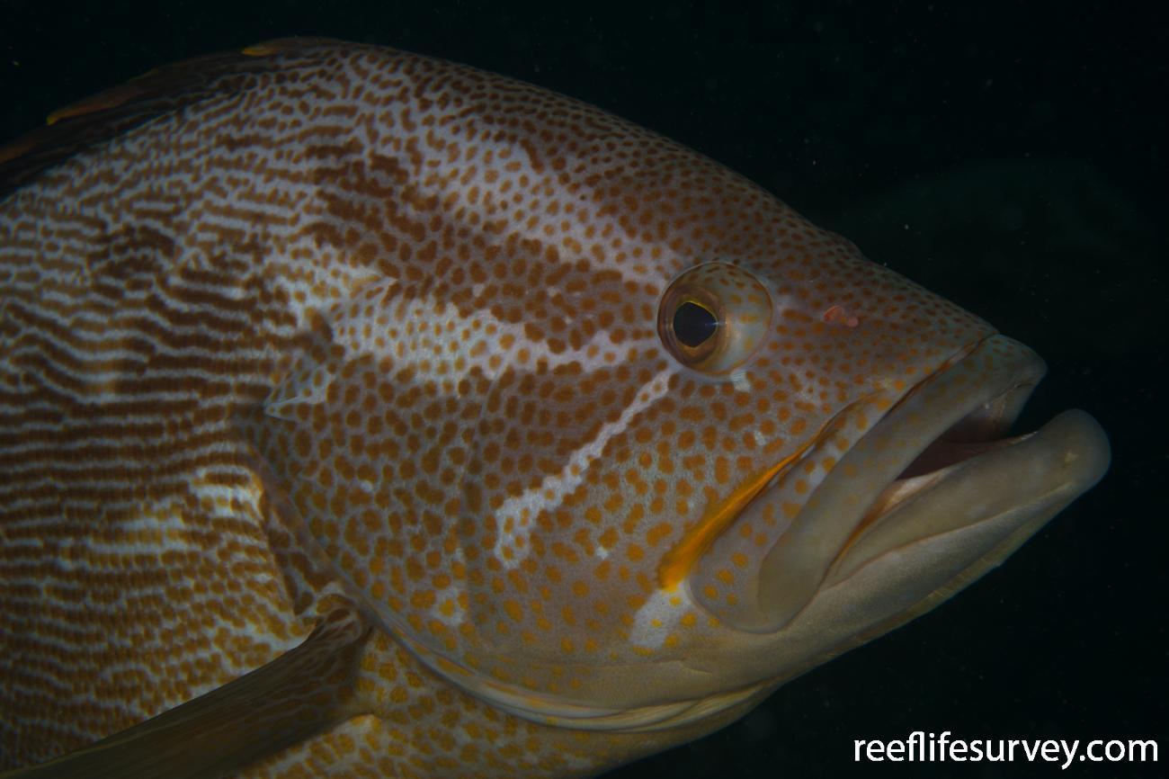 Epinephelus undulatostriatus,  Photo: Rick Stuart-Smith