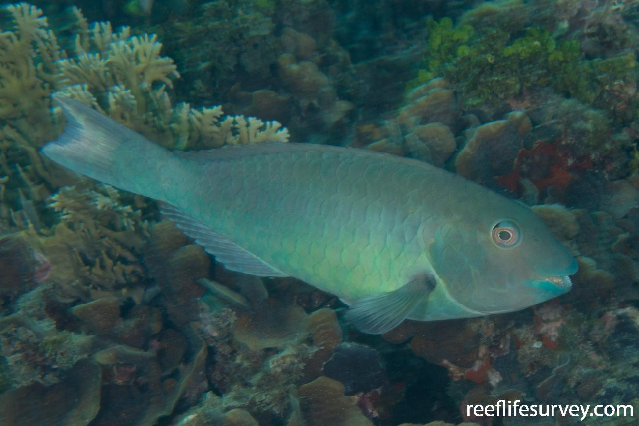 Sparisoma rubripinne, Male, Panama,  Photo: Rick Stuart-Smith