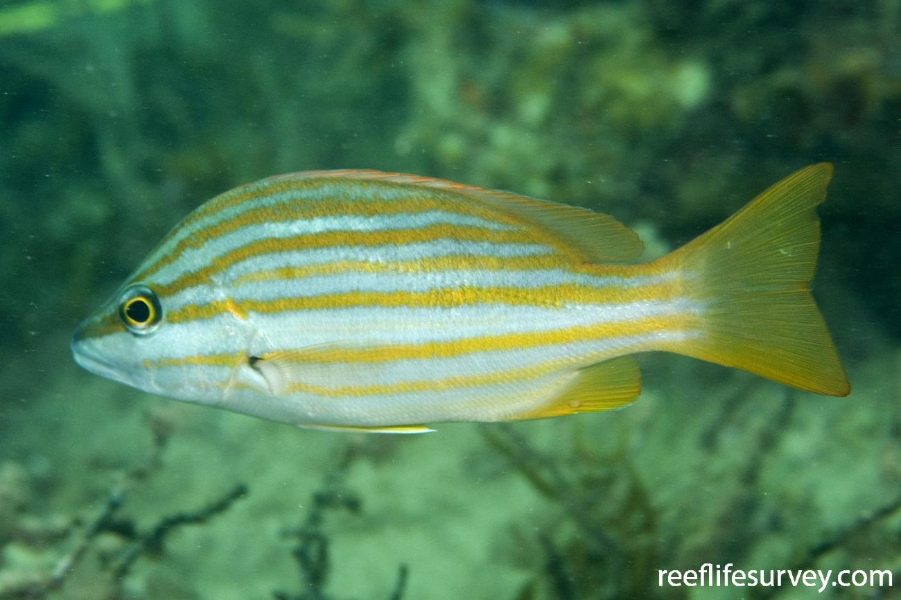 Lutjanus carponotatus, Dampier, WA,  Photo: Andrew Green