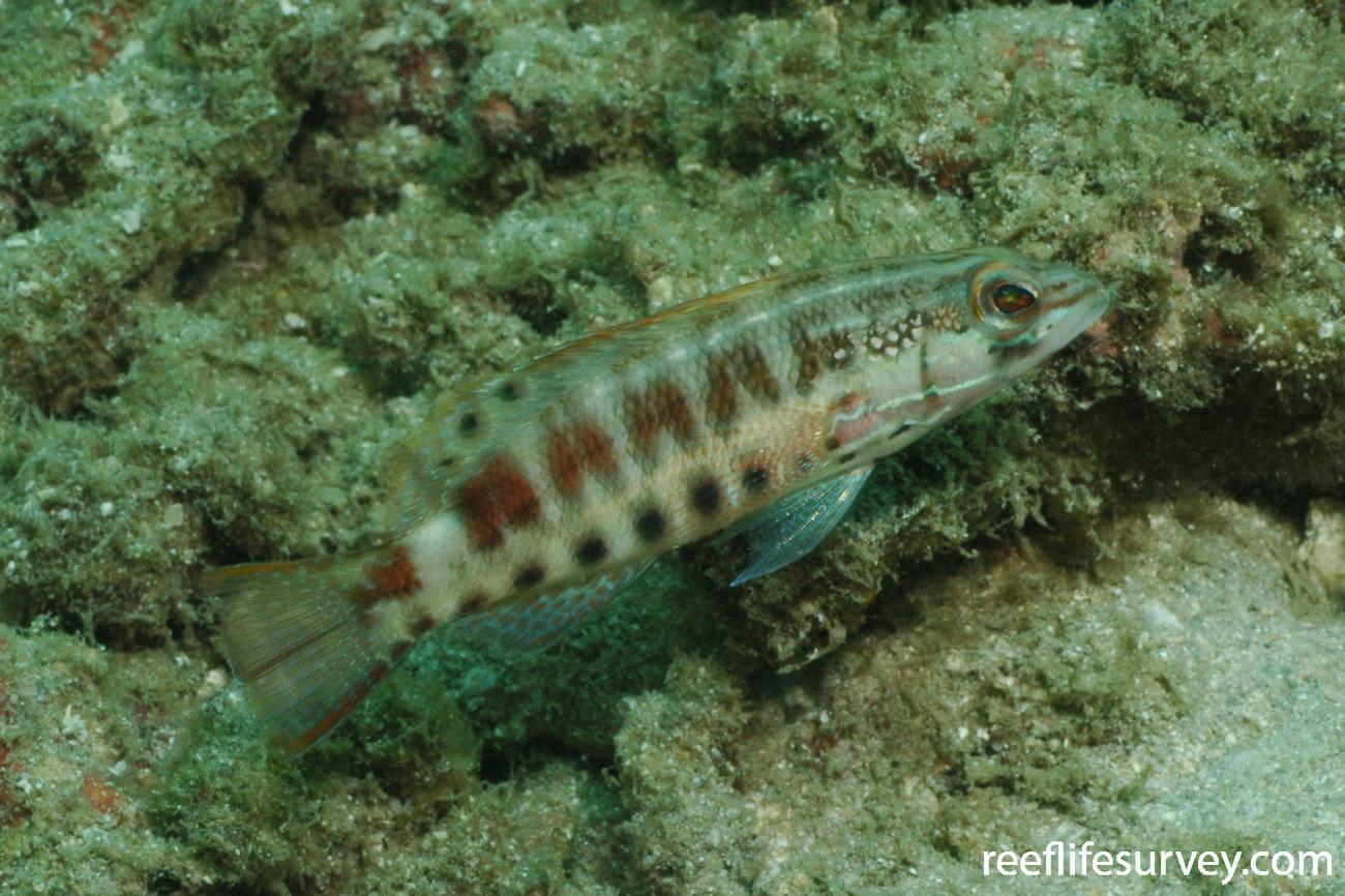 Serranus psittacinus, Coiba Island, Panama,  Photo: Graham Edgar
