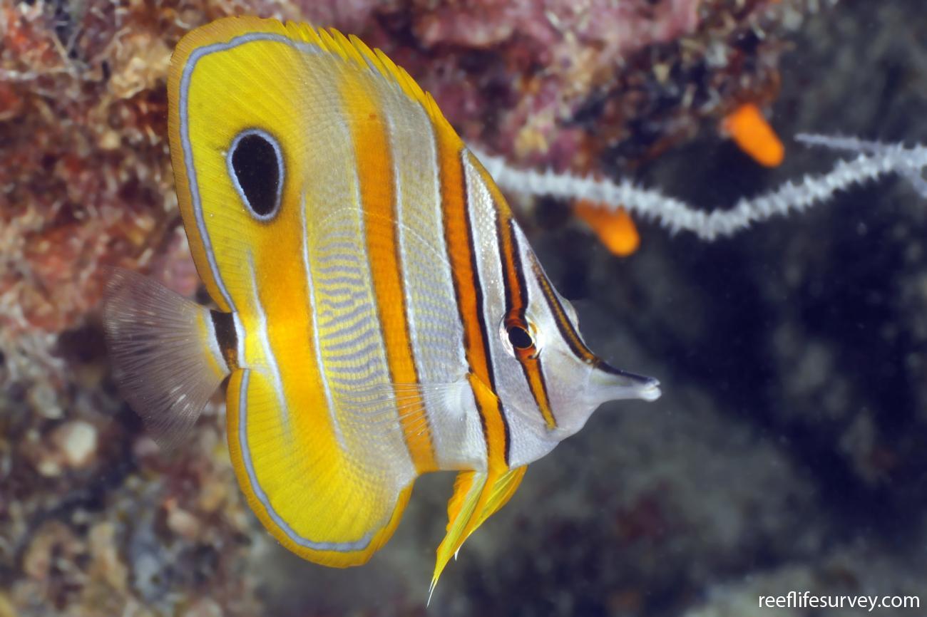 Chelmon rostratus, Adult, Coral Sea, Australia,  Photo: Ian Shaw