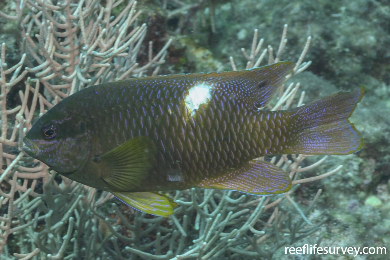 Dischistodus pseudochrysopoecilus, Adult.  Photo: Rick Stuart-Smith