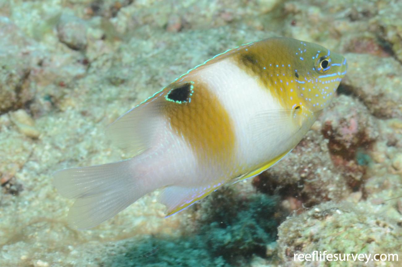 Dischistodus prosopotaenia, Juvenile, Great Barrier Reef, Cairns,  Photo: Joe Shields
