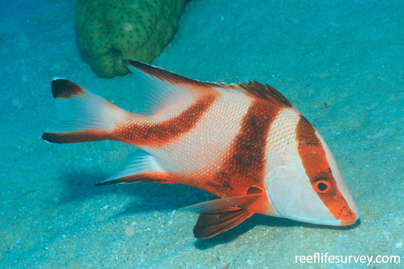 Lutjanus sebae, Juvenile, Great Barrier Reef, QLD,  Photo: Graham Edgar