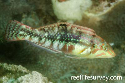 Halichoeres nebulosus: Adult, NSW, Australia,  Photo: Ian Shaw