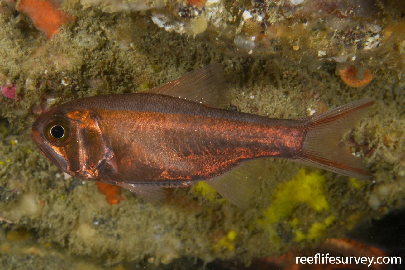 Optivus agastos, Northland, New Zealand,  Photo: Rick Stuart-Smith