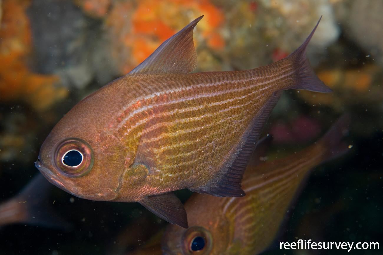 Pempheris multiradiata, Narooma, NSW,  Photo: Andrew Green