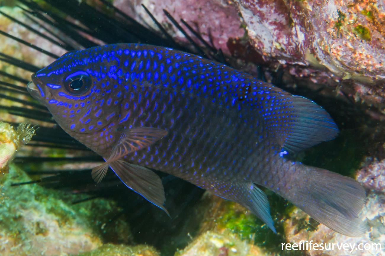 Stegastes rectifraenum, Juvenile, Gulf of California, Mexico,  Photo: Rick Stuart-Smith