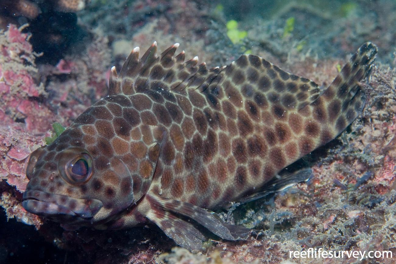 Epinephelus quoyanus, Smith Is, Great Barrier Reef, QLD,  Photo: Andrew Green