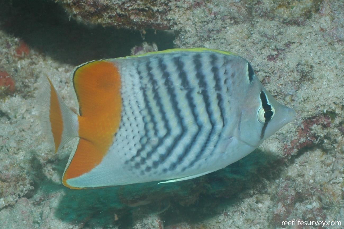 Chaetodon madagaskariensis, Aceh, Indonesia,  Photo: Graham Edgar