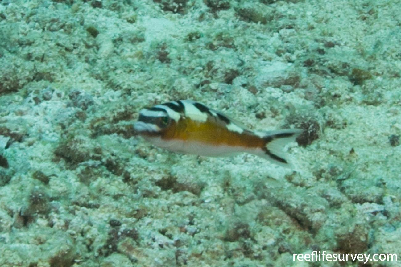 Serranus tabacarius, Turks & Caicos,  Photo: Rick Stuart-Smith