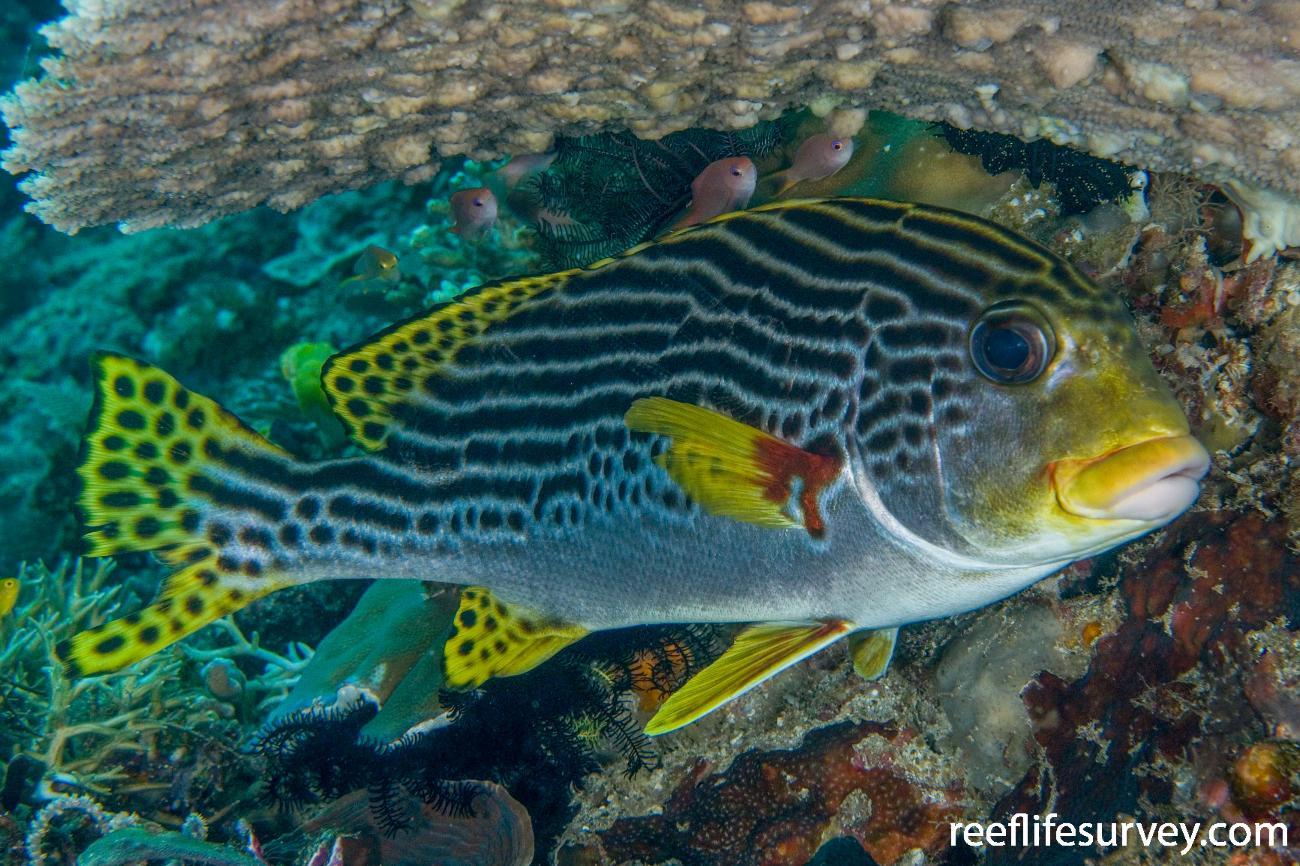 Plectorhinchus lineatus, Adult, Raja Ampat, Indonesia,  Photo: Andrew Green
