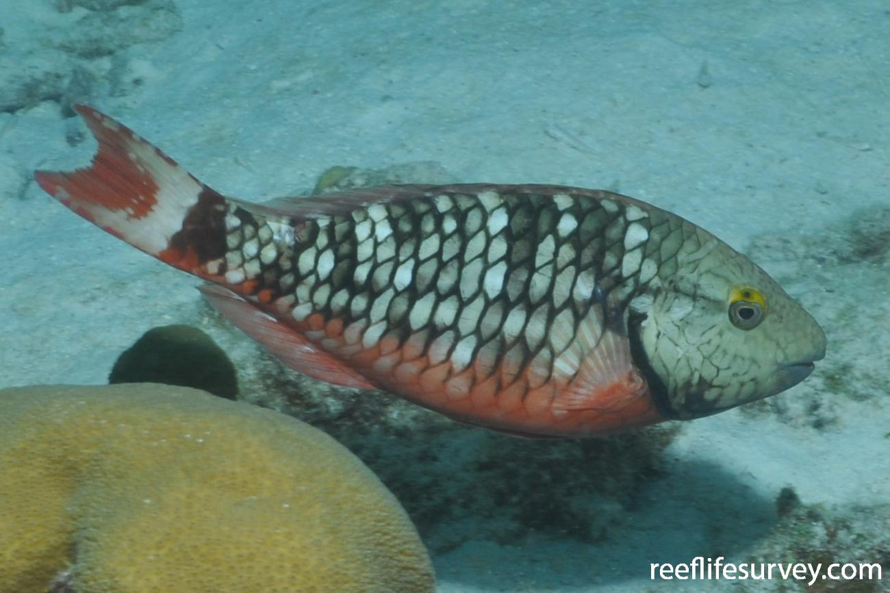 Sparisoma viride, Female, Bonaire,  Photo: Rick Stuart-Smith