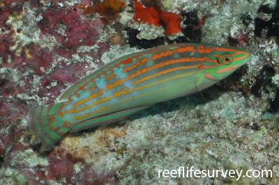 Halichoeres cosmetus: Maldives,  Photo: Rick Stuart-Smith