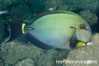 Acanthurus maculiceps: Bali, Indonesia,  Photo: Ian Shaw