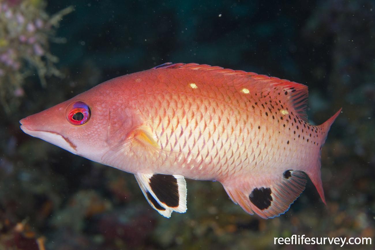 Bodianus dictynna, Fiji,  Photo: Andrew Green