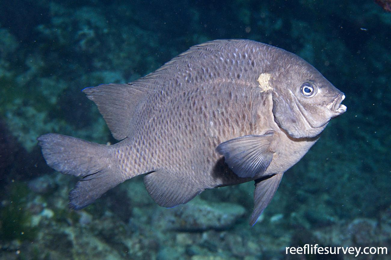 Parma alboscapularis, Adult, Lord Howe Is, NSW,  Photo: Andrew Green