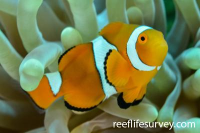 Amphiprion percula: Cairns,  Photo: Adam Duraj