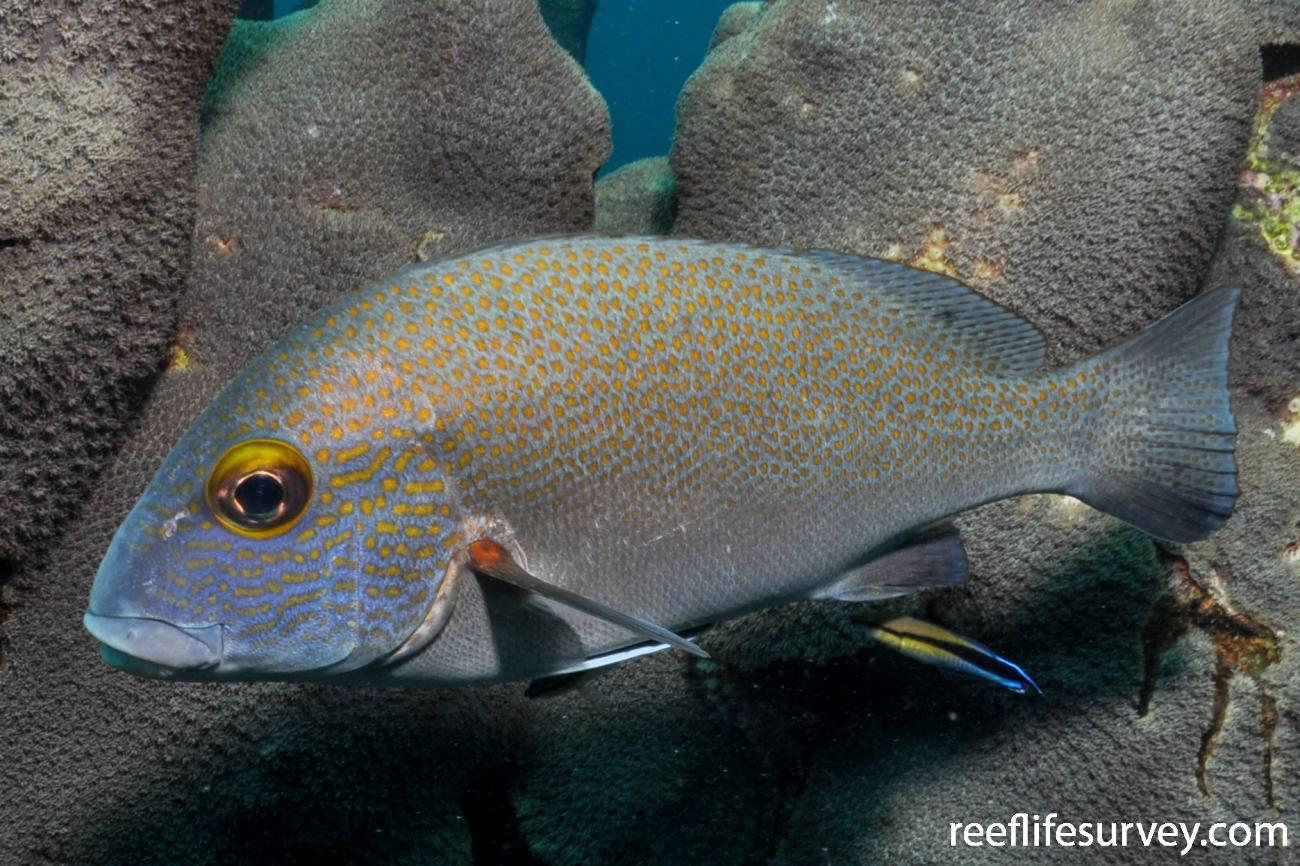 Plectorhinchus flavomaculatus, Adult.  Photo: Rick Stuart-Smith
