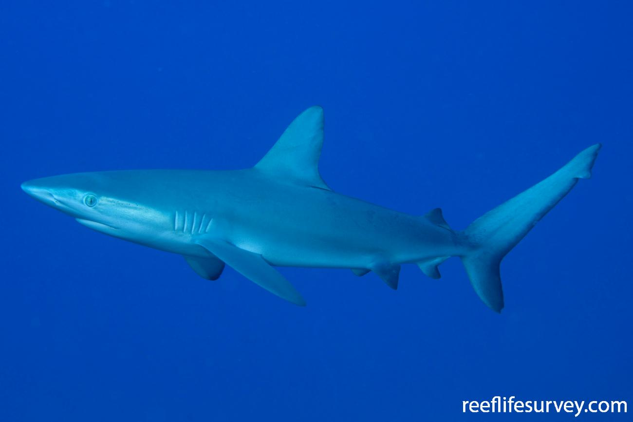 Carcharhinus galapagensis, Lord Howe Is, NSW,  Photo: Andrew Green
