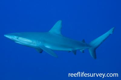 Carcharhinus galapagensis: Lord Howe Is, NSW,  Photo: Andrew Green