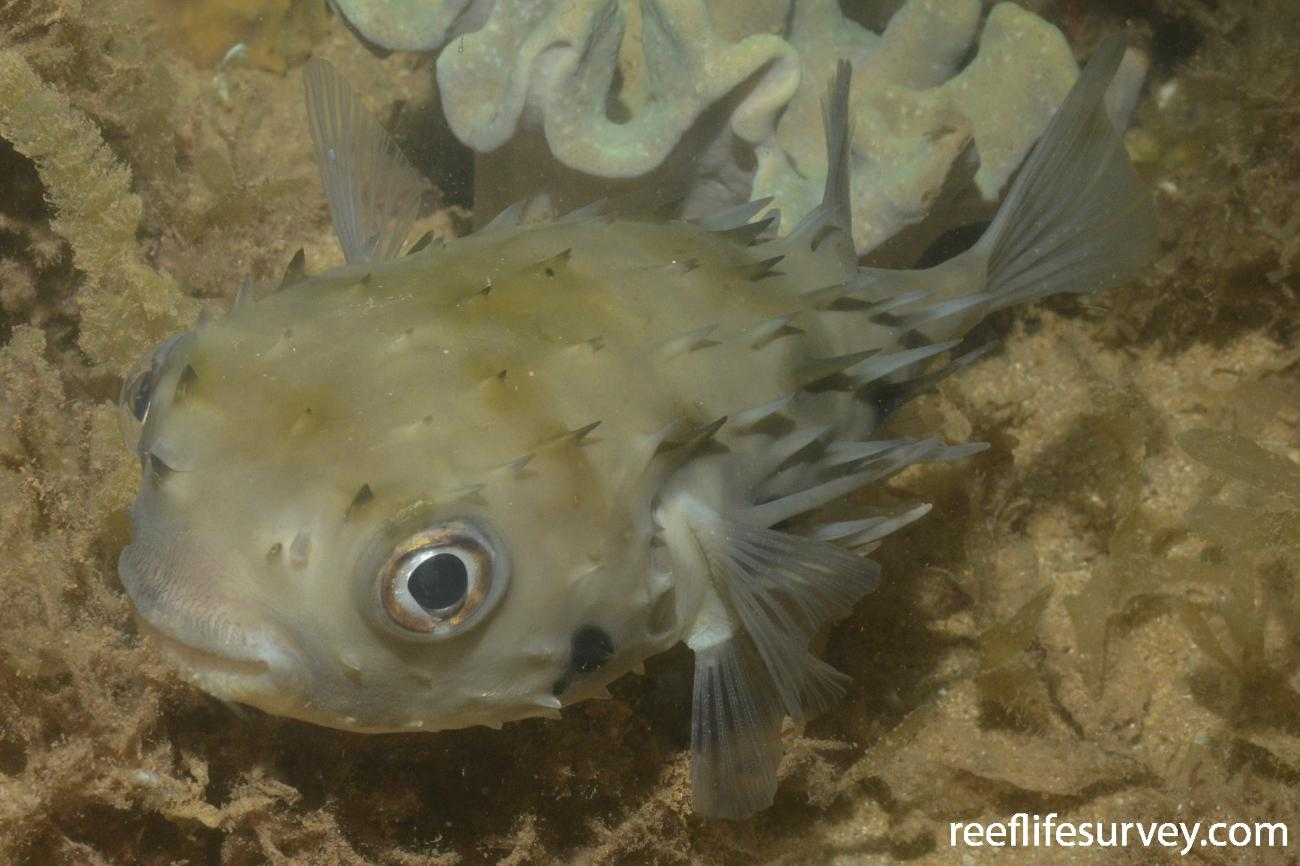 Tragulichthys jaculiferus, WA, Australia,  Photo: Graham Edgar