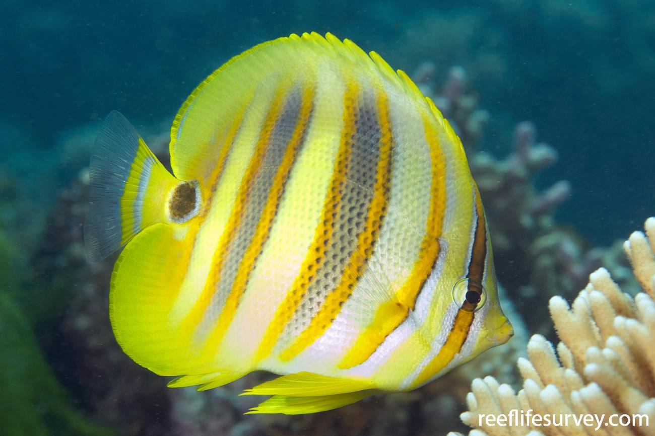 Chaetodon rainfordi, Adult, Lord Howe Is, Australia,  Photo: Ian Shaw