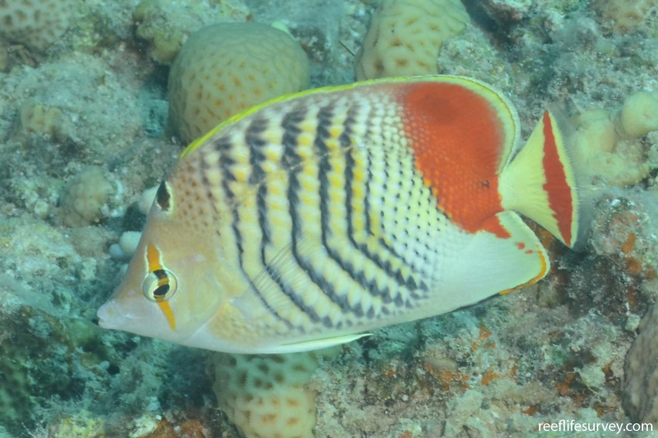 Chaetodon paucifasciatus, Eilat, Israel,  Photo: Graham Edgar